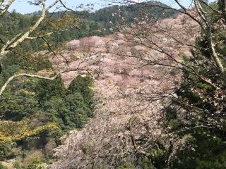 吉野 桜 ②