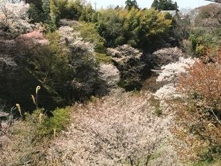 吉野 桜 ③