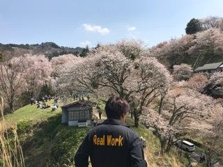 吉野 桜 ④
