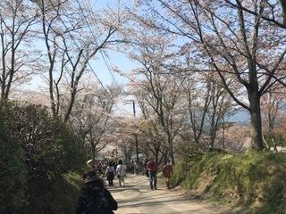 吉野 桜 ⑤