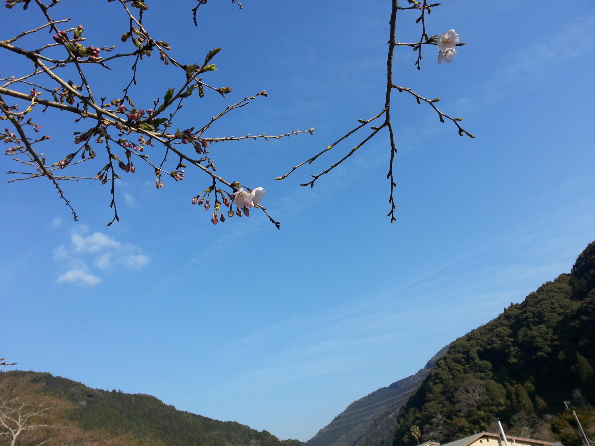 20160405桜