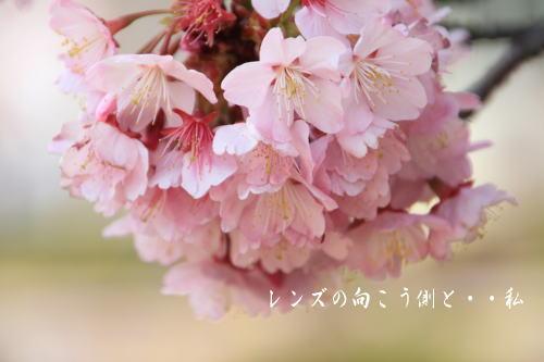 kanzakura2.jpg
