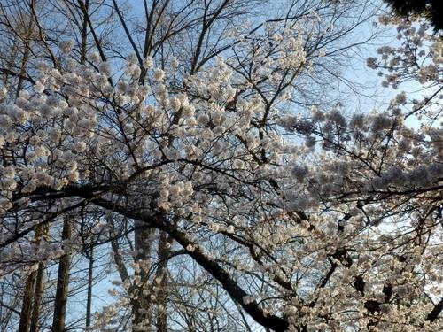 松本城夜桜 (8)