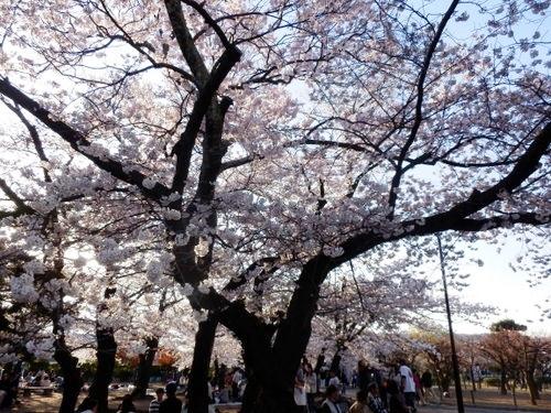 松本城夜桜 (10)
