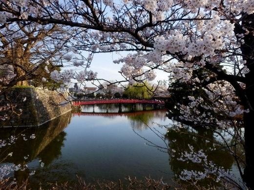 松本城夜桜 (18)