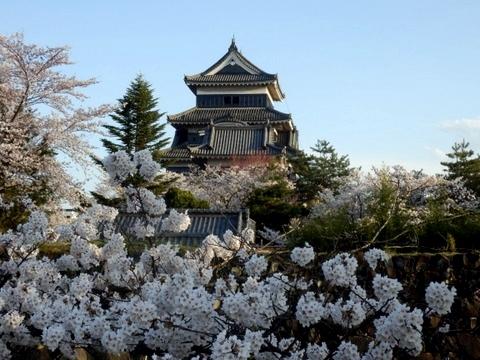 松本城夜桜 (20)
