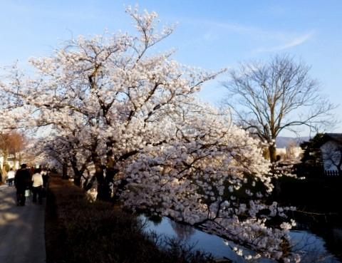 松本城夜桜 (28)
