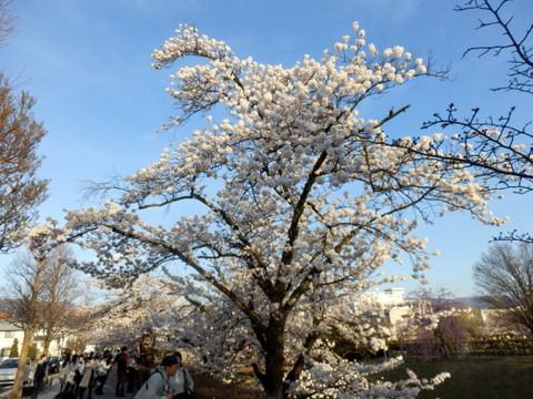 松本城夜桜 (29)