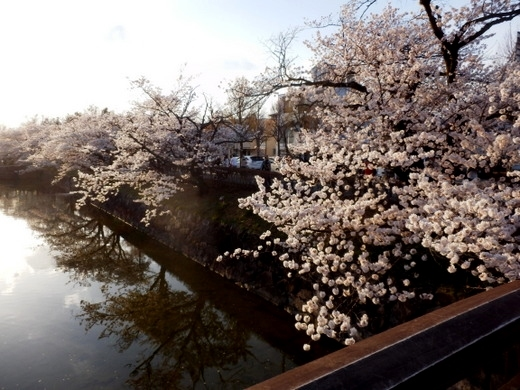 松本城夜桜 (34)