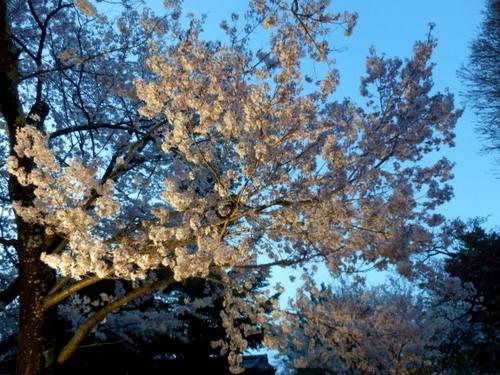 松本城夜桜 (49)