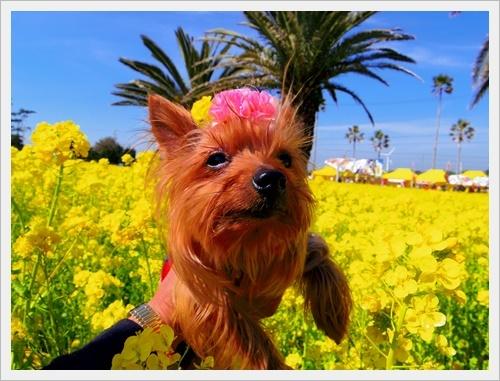 菜の花IMGP5752-20170304