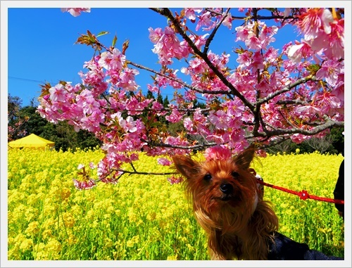 菜の花IMGP5759-20170304