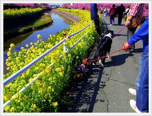 菜の花IMGP5762-20170304
