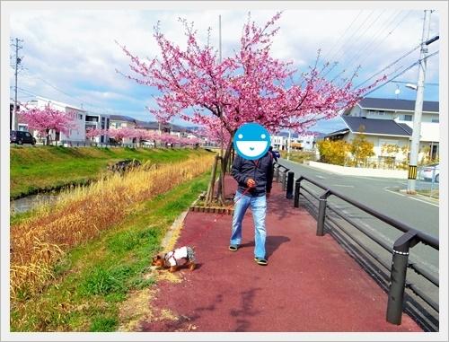 八幡河津桜IMGP5837-20170312
