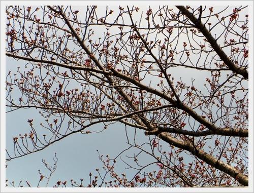 彼岸桜IMGP5974-20170402