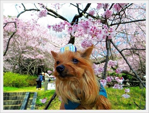 彼岸桜IMGP5976-20170402