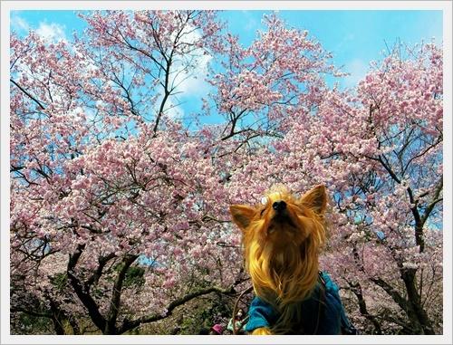 彼岸桜IMGP5980-20170402