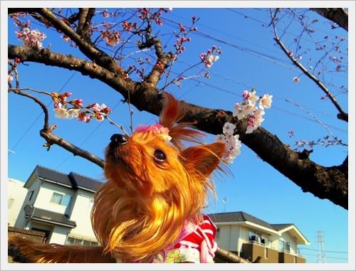 家の前の桜IMGP6003-20170404