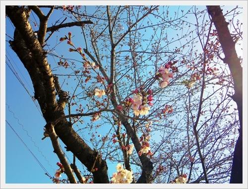 家の前の桜IMGP6002-20170404