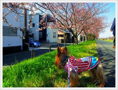 家の前の桜IMGP6008-20170404