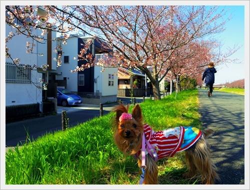 家の前の桜IMGP6009-20170404