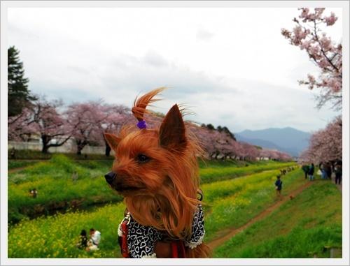 お花見IMGP6025-20170409