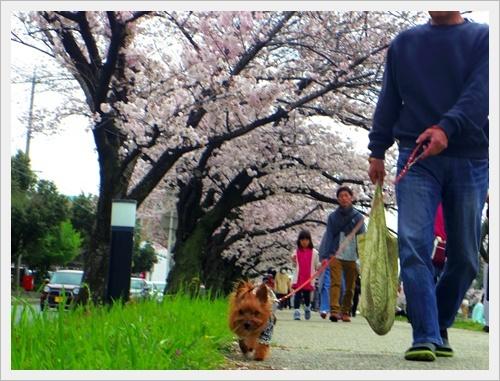 お花見IMGP6029-20170409
