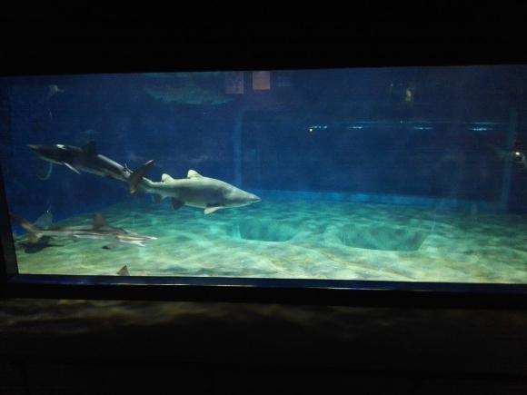 大洗水族館 魚 サメ