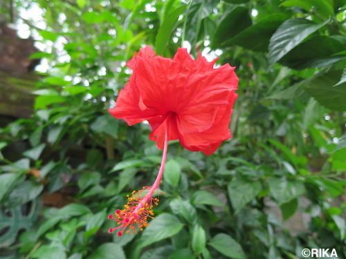hibiscus01/01/17