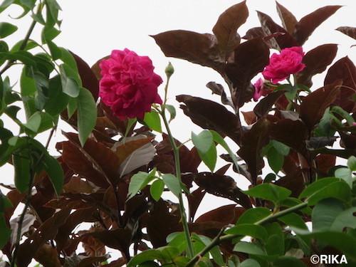 rose03/01/17