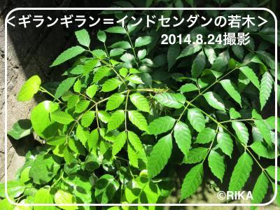 girang-girang3-14/08/14