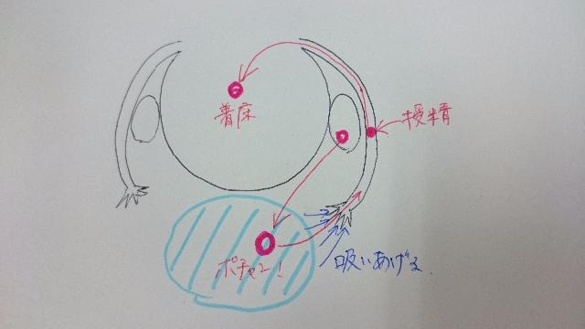 排卵の仕組み