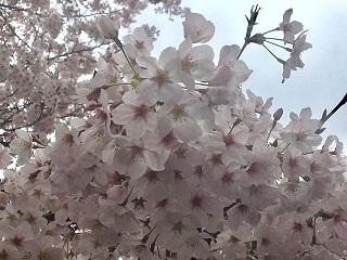 桜20170408
