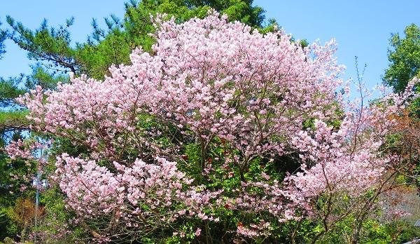IMG_3810桜