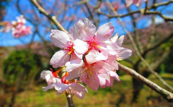 IMG_3815桜