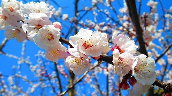 IMG_3827桜