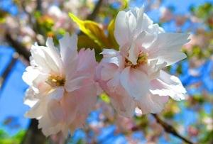 IMG_4084桜