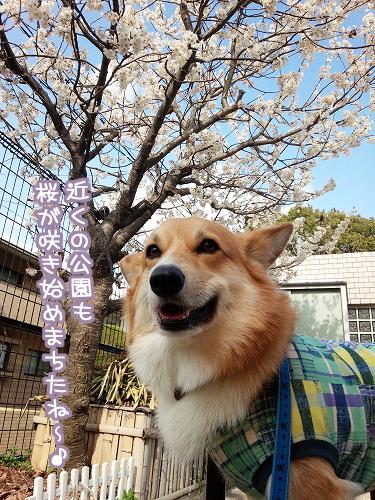 桜が咲き始めまちたね