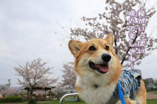 桜がいっぱい