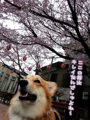 ここの桜はキレイなんでしゅよね