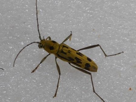 昆虫樹脂標本:キイロトラカミキリ1