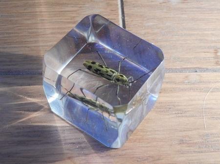 昆虫樹脂標本:キイロトラカミキリ2