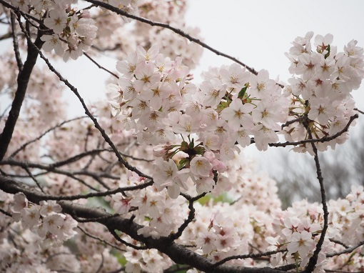2017年4月10日砧公園 (6)