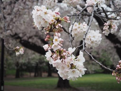 2017年4月10日砧公園 (10)