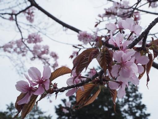 170422山桜