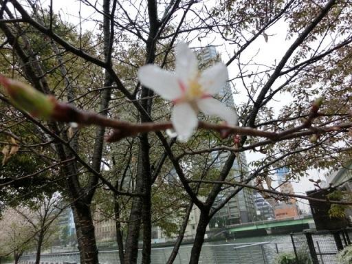 さぶの桜2