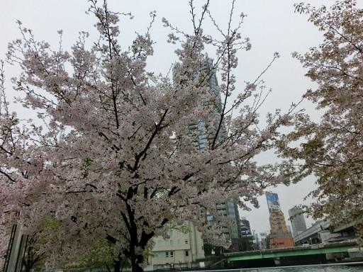 天満の桜1