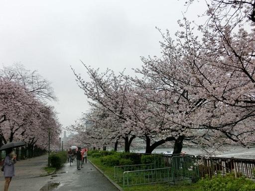 天満の桜4