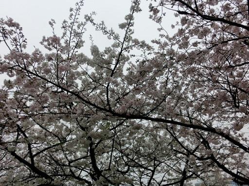 天満の桜5