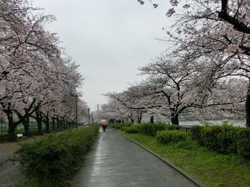 天満の桜6